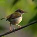 Tailor Bird @ Bhubaneswar