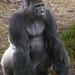 Gorilla gorilla #2