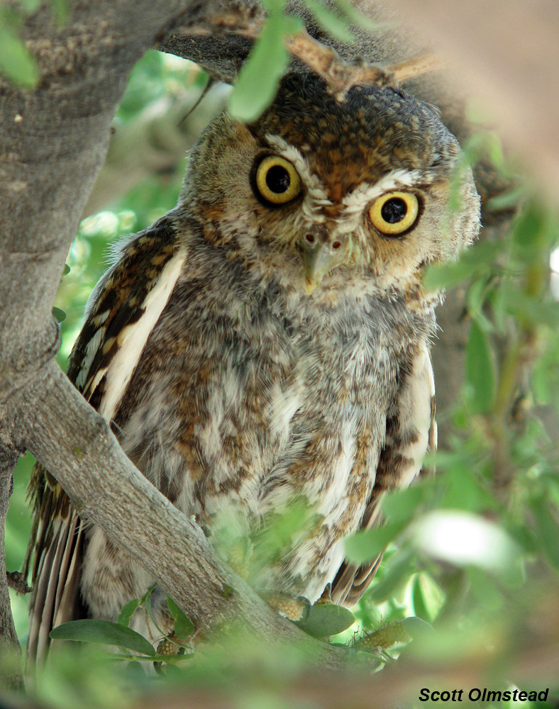 Elf Owl Micrathene Whitneyi Riding Out The Midday Heat