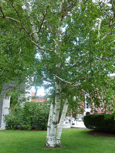 Paper Birch Full Tree