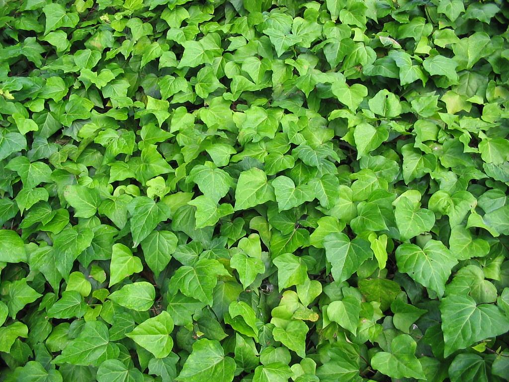 Ivy Leaf Texture Luke Jones Flickr