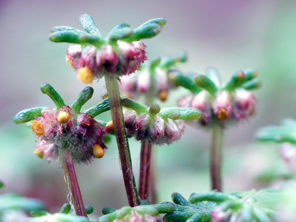 Marchantia Sporangia | Sexual reproduction in Marchantia ...