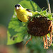 Goldfinch and Sunflower (1)