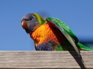 Baby lorikeet | by Danack57