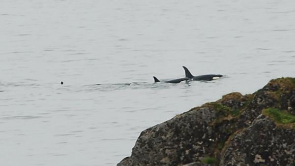 Orcas outside Littleisland lighthouse (Litløy fyr)