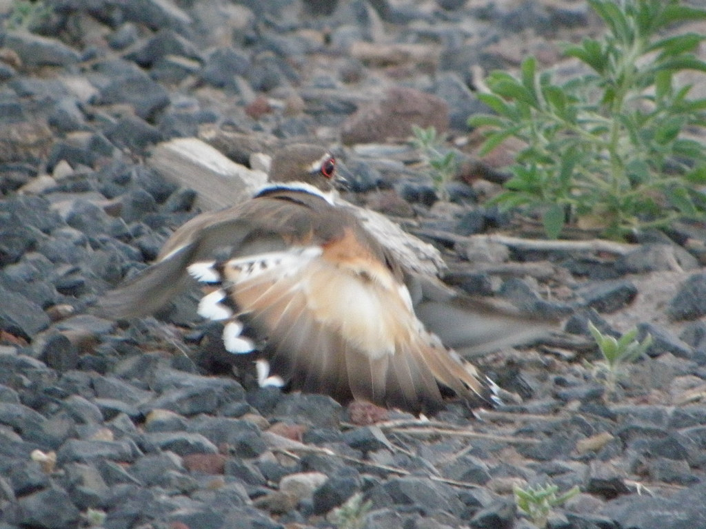 Killdeer 2 | by The White Wоlf