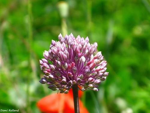 Fleur de poireaux sauvage fleur de poireaux sauvage quand flickr - Quand repiquer les poireaux ...