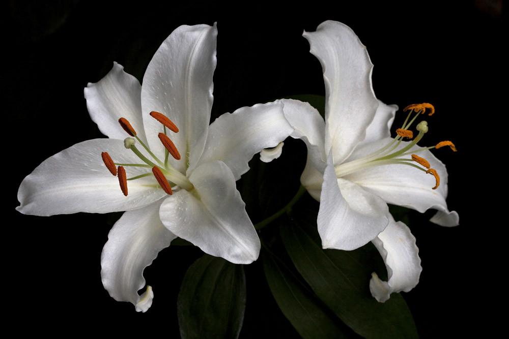 image gallary 5 lily - photo #21