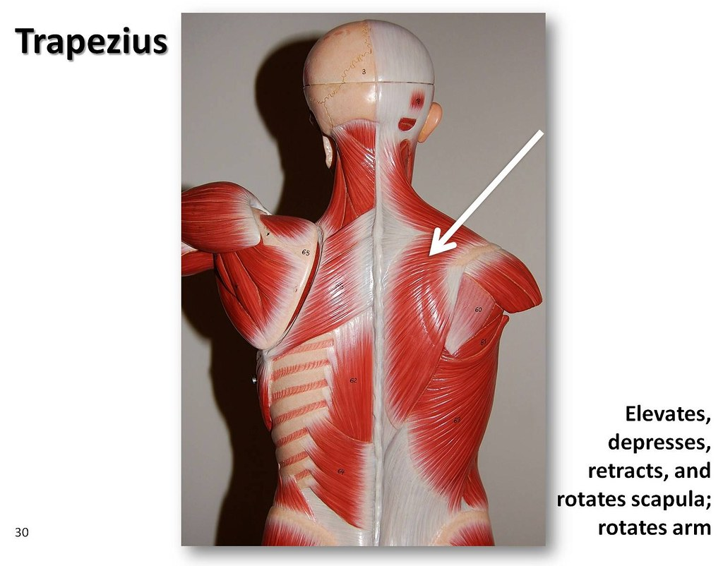 Trapezius, posterior view - Muscles of the Upper Extremity… | Flickr
