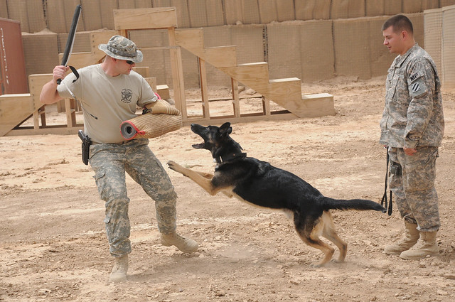Training a military working dog