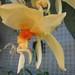 Stanhopea graveolens 'Greentree'