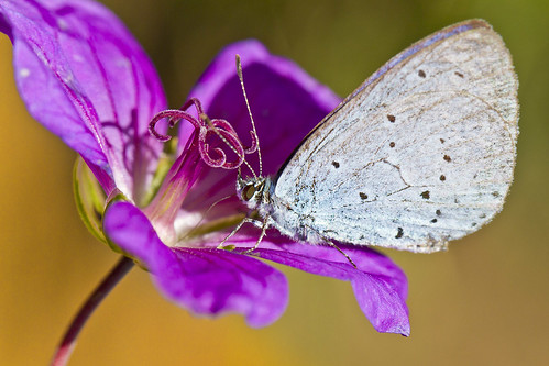 Holly Blue Butterfly (Celastrina argiolus) | by Roland Bogush