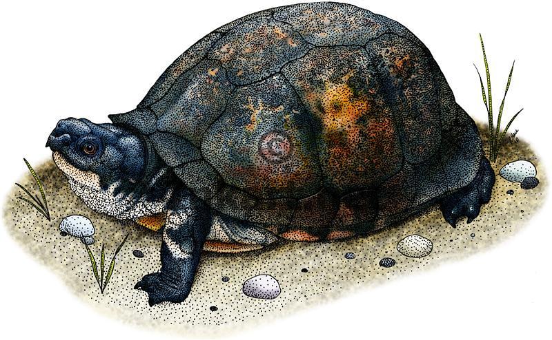 gulf coast box turtle fine art drawing of a gulf coast box flickr