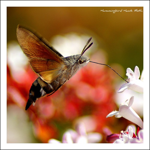 Hummingbird Hawk Moth | by hellotim80