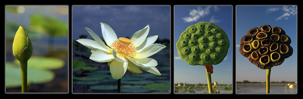 Evolution of a lotus flower ive been paddling through the flickr evolution of a lotus flower by julie dodge mightylinksfo