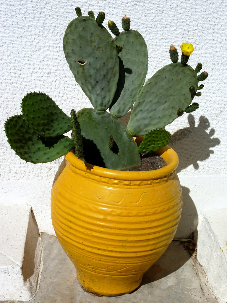 cactus and pot yellow pot with cactus plant athens greec marie therese magnan flickr. Black Bedroom Furniture Sets. Home Design Ideas