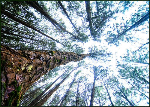 Pine Forest - Vagamon | by Shanz Photography (Back)