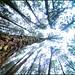 Pine Forest - Vagamon