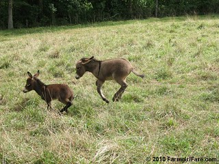 What's more fun than a baby donkey? Two baby donkeys! | by Farmgirl Susan