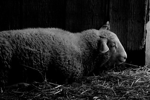 the sheep lies down ... | by D J England