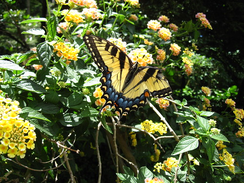 Swallowtail on Lantana | by Brooklyn Botanic Garden