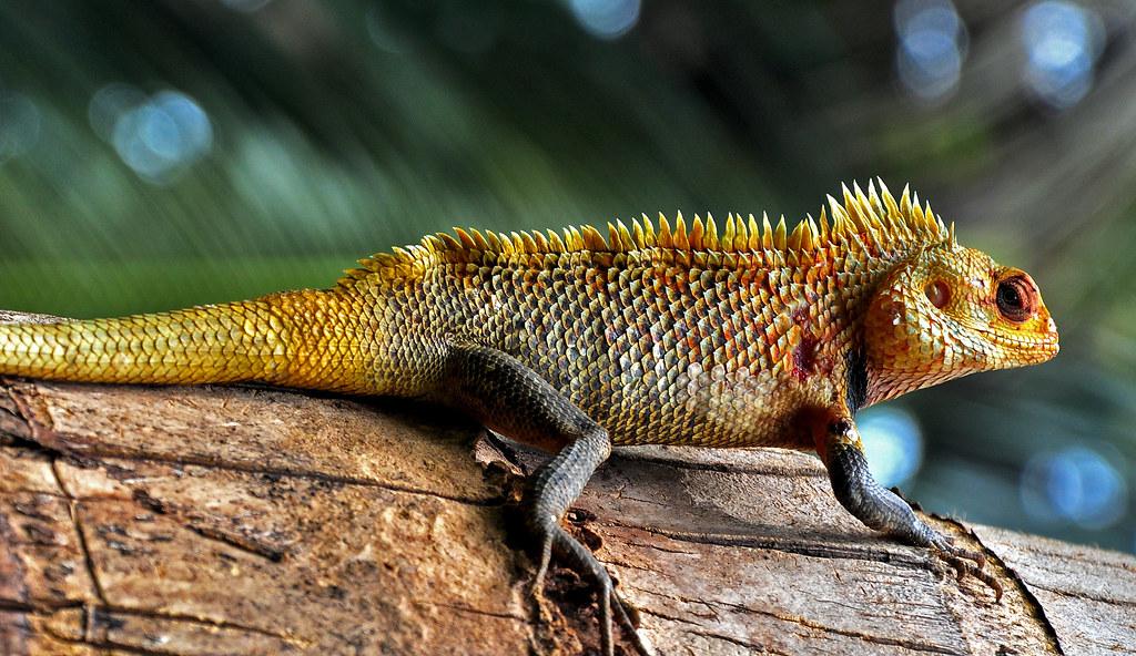 oriental garden lizard calotes versicolor by flickrprince - Garden Lizard
