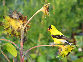 American Goldfinch | by treegrow