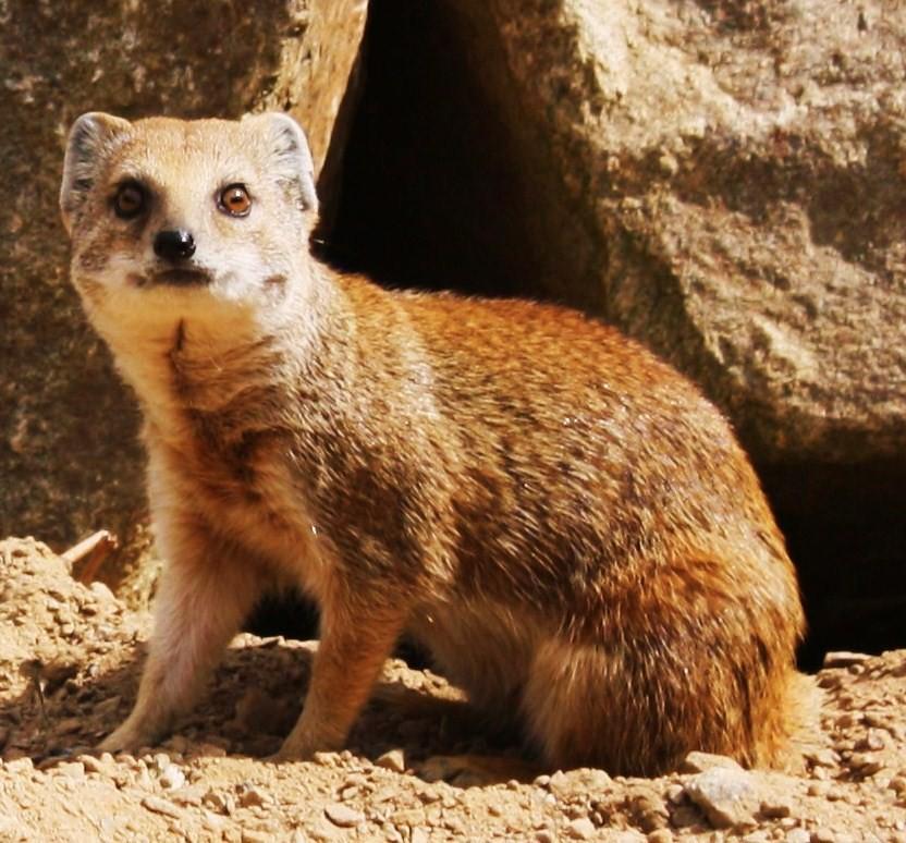 Red Meerkat Large