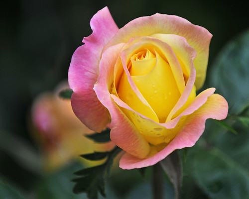 Pink and Yellow. | by jan lyall