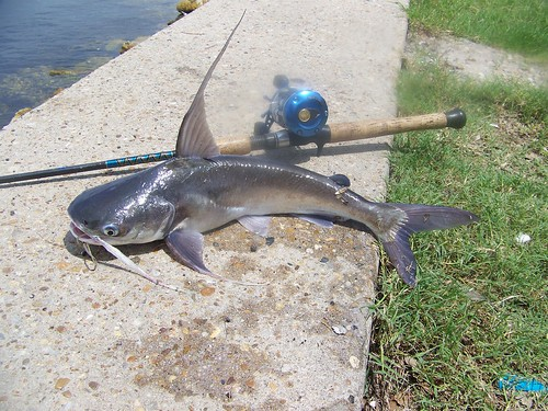 Gafftopsail catfish sail cat lusox flickr for Cleanest fish to eat