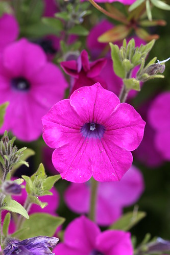 Petunia integrifolia | by anniesannuals