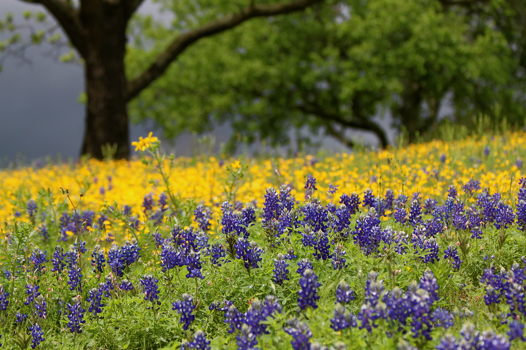 Flowers in bloom spring in texas hill country in lyndon b flickr - Flowers that bloom from spring to fall ...