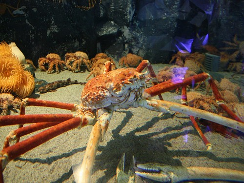 Baby king crabs