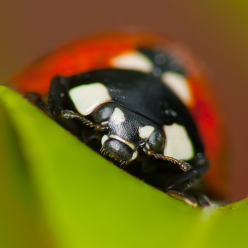 Ladybird | by shaftina©tion