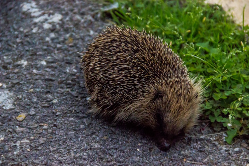 Hedgehog | by Jim Mead