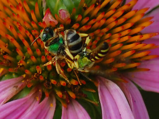 Agapostemon virescens- Sweat Bees | by sheryl2010