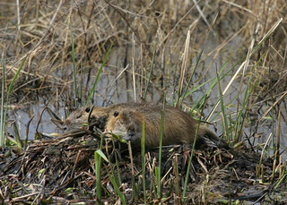 Nutria an invasive species | by USFWS Pacific