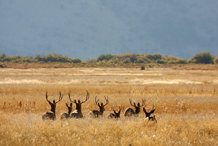 malheur refuge, Mule deer buck group | by USFWS Headquarters