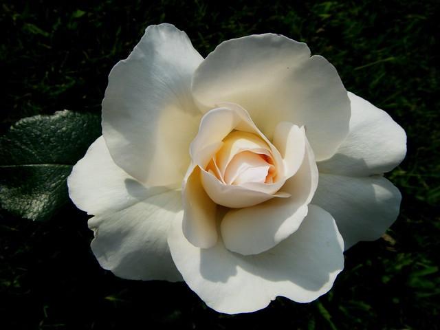 Роза сорта Гран Норд, фото фотография цветы