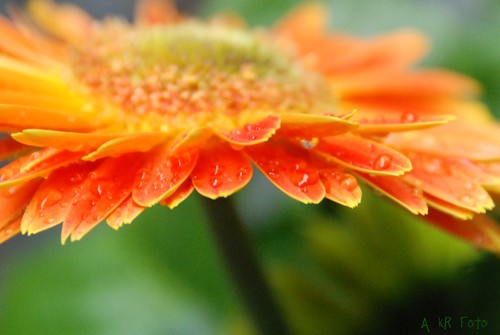Flowers in the rain | by Kerry Ramstad , its been a long while