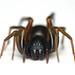Two Banded Ant Mimic (Castianeira cingulata)