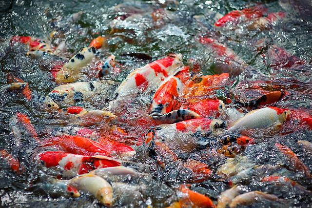 Koi pond earl burns miller japanese garden flickr for Japanese koi garden san jose