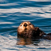 floating sea otter