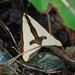 Haploa clymene- Clymene Moth