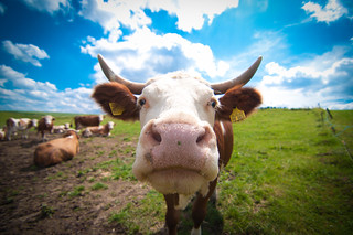 Good thing cows are curious | by alexbartok