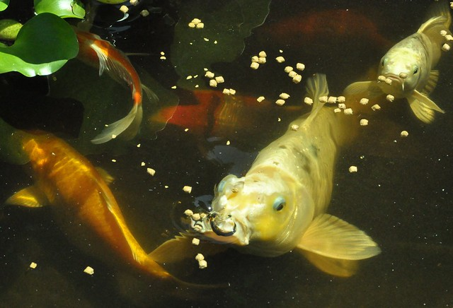 Flickr photo sharing for What to feed baby koi