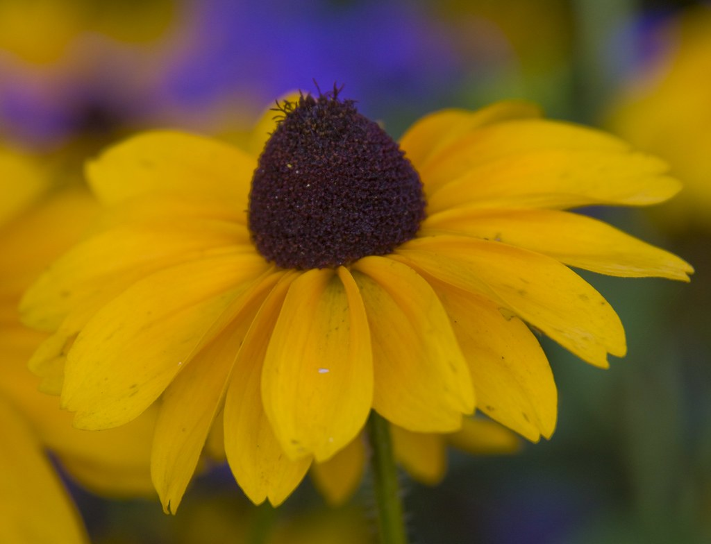 Yellow Cornflower Jenny Long Flickr
