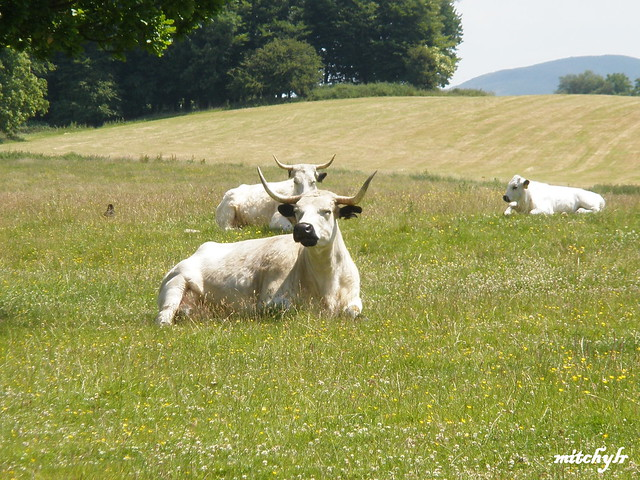 Contented Cattle