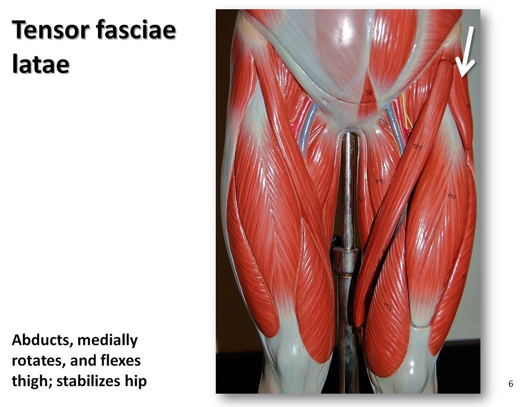 Tensor fasciae latae - Muscles of the Lower Extremity Anat…   Flickr