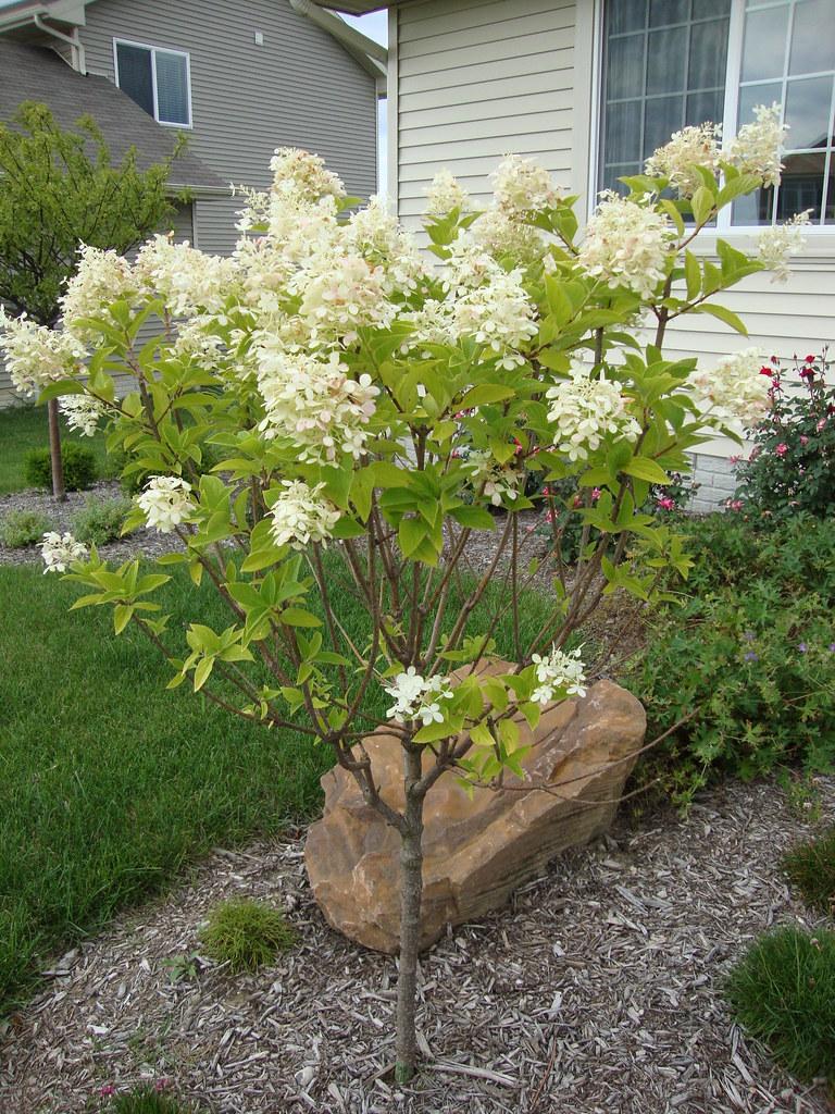 Limelight Hydrangea Tree on Standard : Limelight Hydrangea su2026 : Flickr